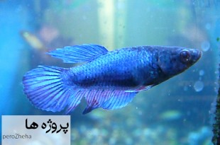 دوره تکامل و رشد تخم در ماهیان ماده
