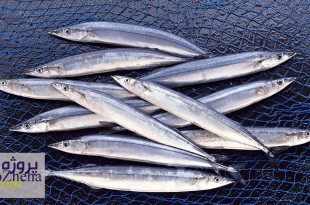 انواع فرآوری ماهی کیلکا