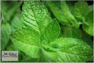 گیاه نعناع