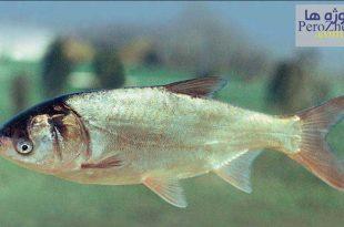 ماهی کپور نقره ای ( فیتوفاگ )